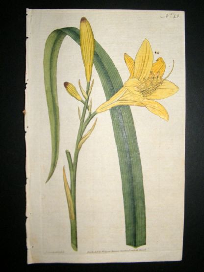Curtis 1787 Hand Col Botanical Print. Yellow Day-Lily #19, | Albion Prints